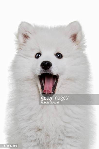 headshot of a japanese spitz puppy looking at the camera on a white backdrop - japanese spitz stock pictures, royalty-free photos & images