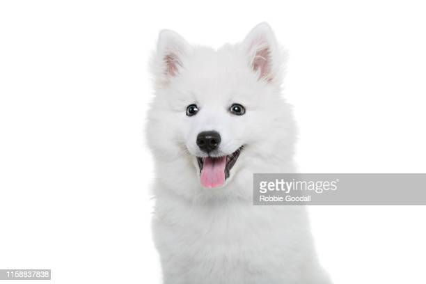 headshot of a japanese spitz puppy sitting on a white backdrop looking at the camera. - japanese spitz stock pictures, royalty-free photos & images