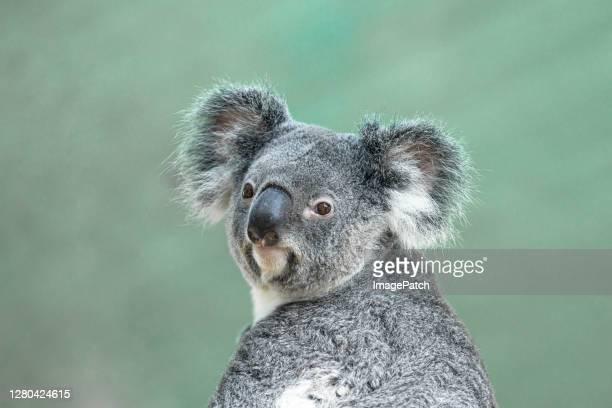headshot of a koala - koala stock pictures, royalty-free photos & images