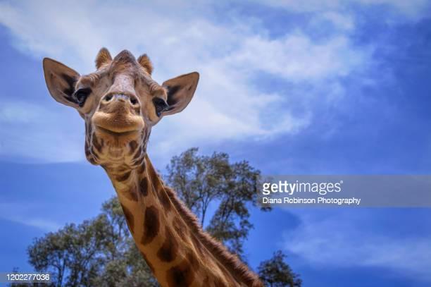 headshot of a masai giraffe near nairobi, kenya, east africa - erbivoro foto e immagini stock