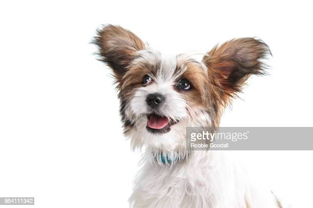 Headshot of a papillon puppy looking at the camera against a white background.