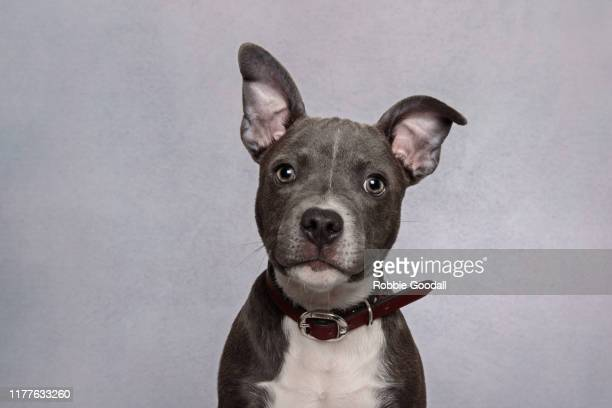 headshot of a staffordshire bull terrier puppy looking at the camera wearing a black collar on a gray background - 犬 ストックフォトと画像