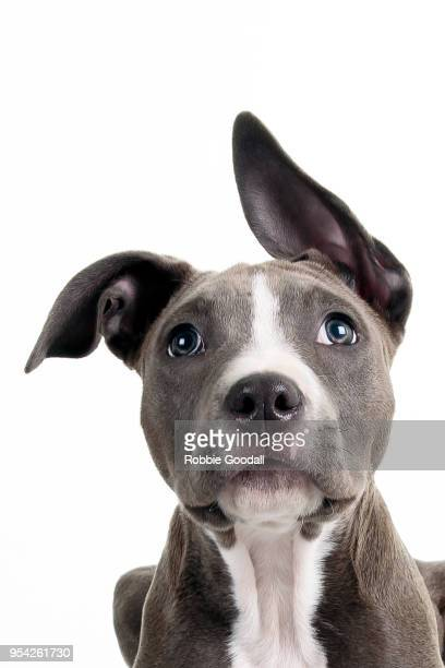 headshot of a staffordshire bull terrier puppy looking at the camera. photographed against a white background. - staffordshire bull terrier stock pictures, royalty-free photos & images
