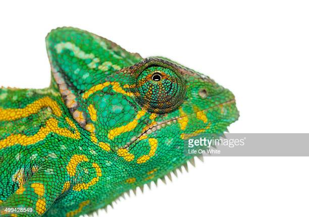 Headshot of a Yemen chameleon