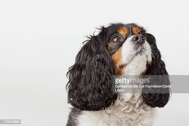 headshot of cavalier king charles spaniel - cavalier king charles spaniel stock pictures, royalty-free photos & images