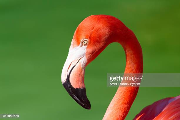 headshot of flamingo against green background - greater flamingo stock photos and pictures