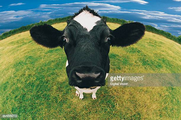 Headshot of Friesian Cow