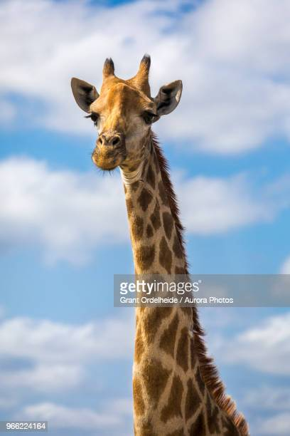 Headshot of giraffe, Sabi Sands Game Reserve, Mpumalanga, South Africa