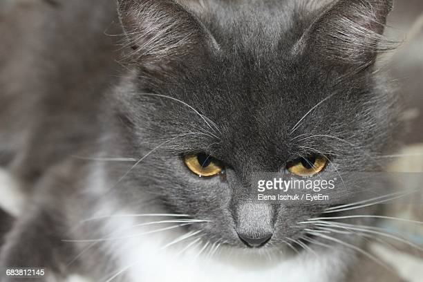Headshot Of Gray Cat Looking Down