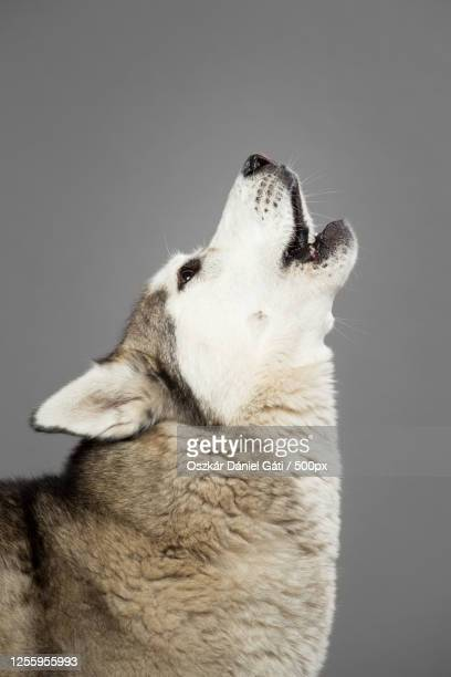 headshot of howling siberian husky against gray background - husky dog stock pictures, royalty-free photos & images