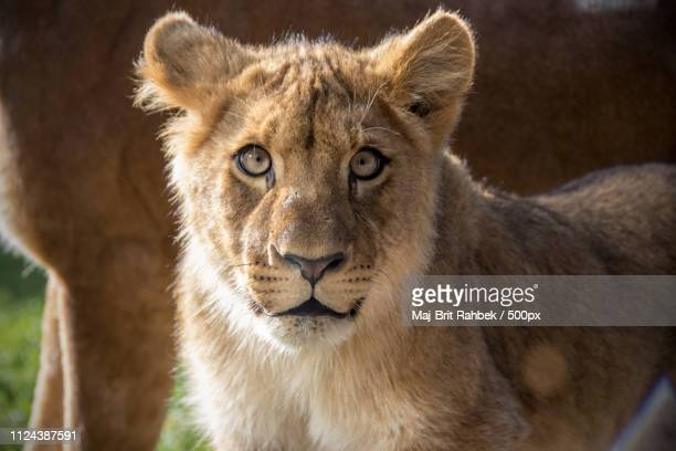 Headshot of lioness (Panthera leo) looking at camera
