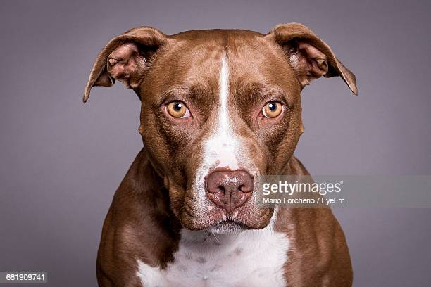headshot of pit bull looking at camera - pit bull terrier stock photos and pictures