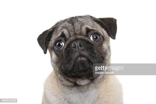 Headshot of Pug looking at the camera against a white background.
