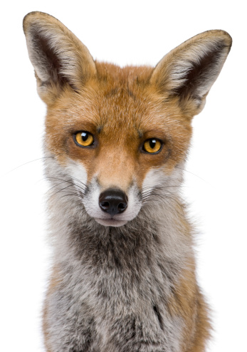 Headshot of red fox on white background 108489893