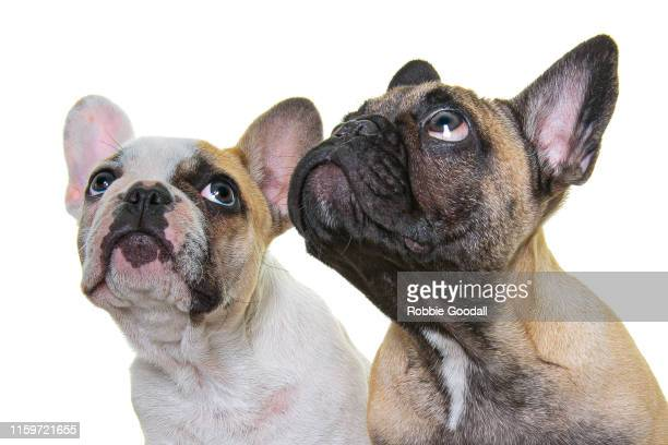 headshot of two french bulldogs looking away from the camera on a white backdrop - young animal stock pictures, royalty-free photos & images