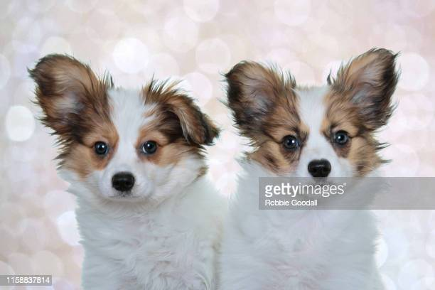 headshot of two papillon puppies looking at the camera behind a coloured backdrop - papillon dog stock photos and pictures