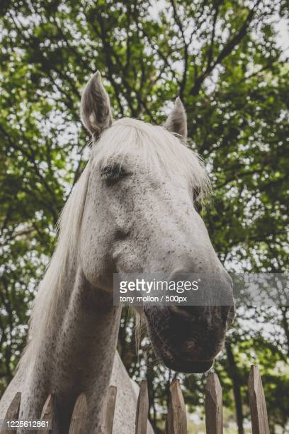headshot of white horse, biscarrosse, nouvelle-aquitaine, france - biscarrosse photos et images de collection