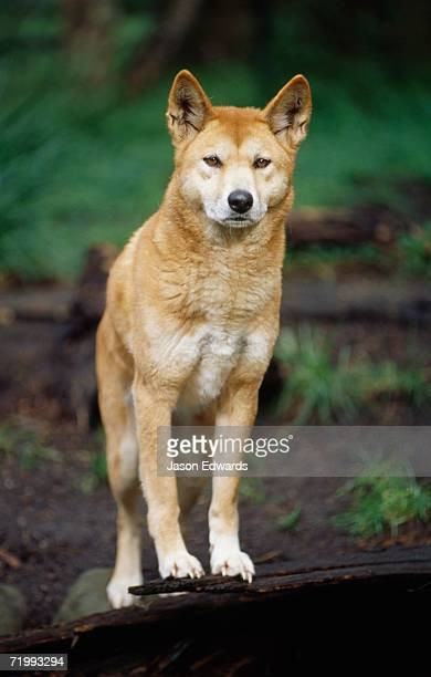 Healesville Sanctuary, Victoria, Australia. An alert dingo, Aboriginies' native wild dog, with ears standing up.