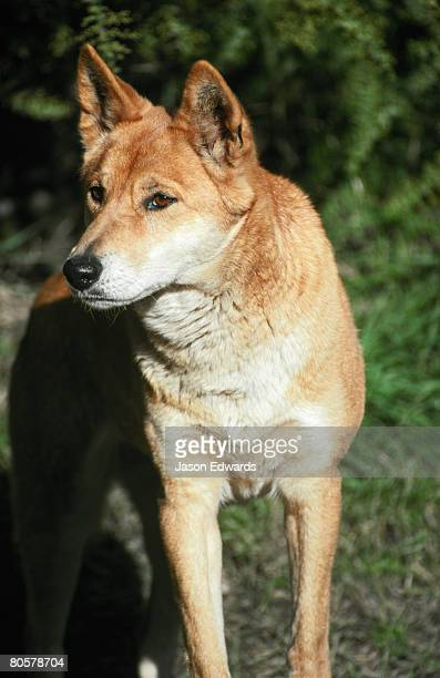 The alert and kindly eyes of a beautiful orange, red colored Dingo.
