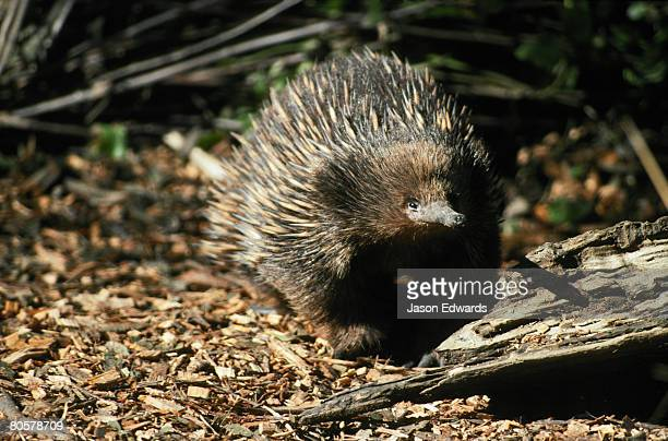 The friendly face of an inquisitive Echidna hunting for food.