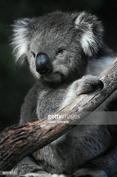 Portrait of a furry cute Koala with huge ears sitting in a tree fork.