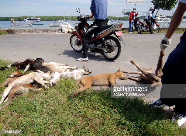 Health department official removes the carcasses of stray dogs culled in a sweep against rabies on Serangan island off the southeast coast of Bali on...