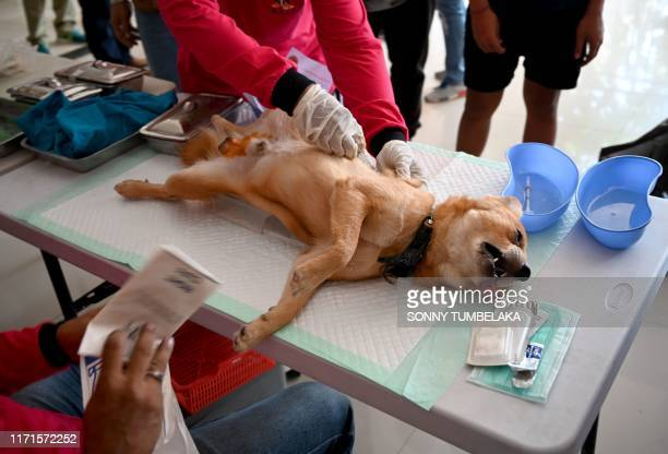 Health worker castrate a dog during a vaccinating program against rabies at Benoa village in Badung regency as part of the program to battle against...