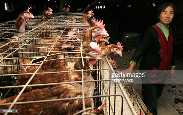 WITH HealthfluChinaSARS Chicken farmer Li Cui'e checks her fowl at her farm on the outskirts of Huhhot the capital of China's Inner Mongolia region...