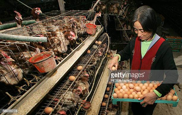 WITH HealthfluChinaSARS Chicken farmer Li Cui'e collects eggs at her farm on the outskirts of Huhhot the capital of China's Inner Mongolia region 26...