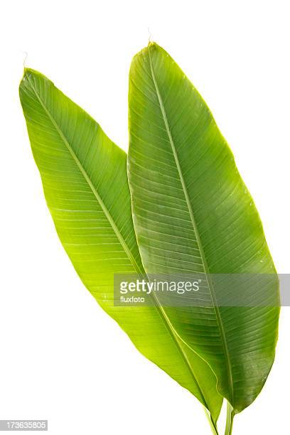 Healthy and green banana plant leaves