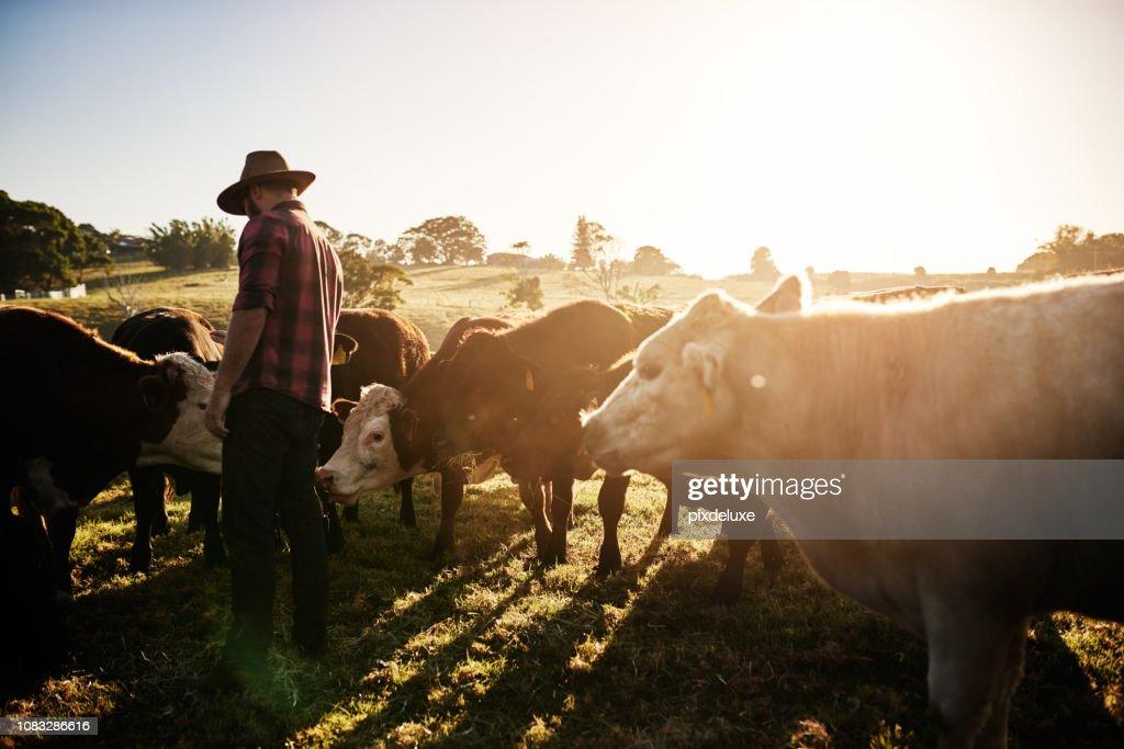 Gesunde Rinder entspricht einen gesunden Bauernhof : Stock-Foto