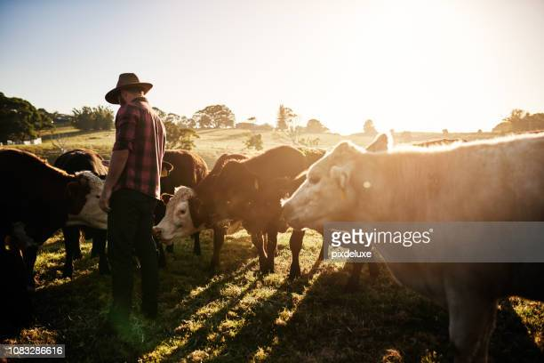 healthy cattle equals a healthy farm - australia foto e immagini stock