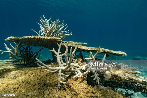 Healthy coral reef with hard corals of the genus Acropora in the waters of Mayotte Marine Natural Park on December 04 Mozambique Channel, Comoros...