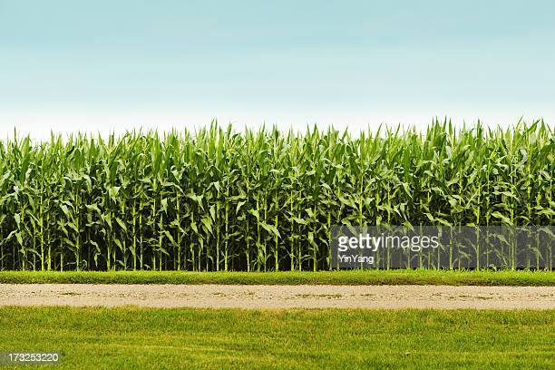 healthy corn crop in agricultural field - corn stock pictures, royalty-free photos & images
