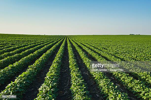 a healthy green mid-season soybean field two weeks after being sprayed with herbicide in central iowa, dead broadleaf weeds can be seen in between the rows - soybean harvest stock pictures, royalty-free photos & images