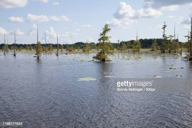 healthy green swamp trees against a deep blue sky - mississippi delta stock photos and pictures