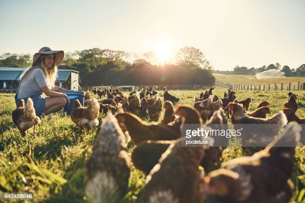 healthy hens are happy hens - livestock stock pictures, royalty-free photos & images