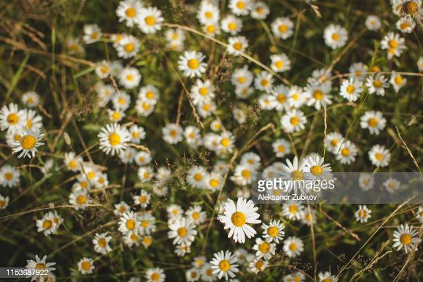 healthy herb chamomil is growing on the summer field, summer or srping, - daisy stock pictures, royalty-free photos & images
