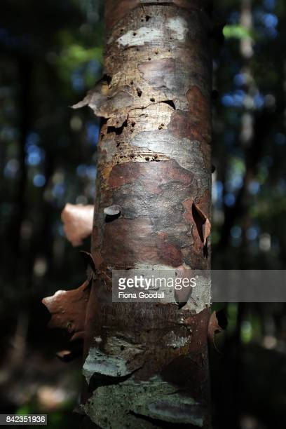 Healthy Kauri tree trunks at Huia in the Waitakere Ranges Regional Park on September 4 2017 in Auckland New Zealand The Waitakere Ranges Regional...