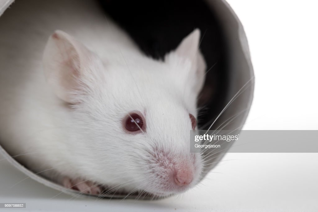 Healthy laboratory mice play with paper tube in white background : Stock Photo