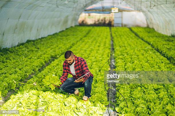 Healthy lettuce