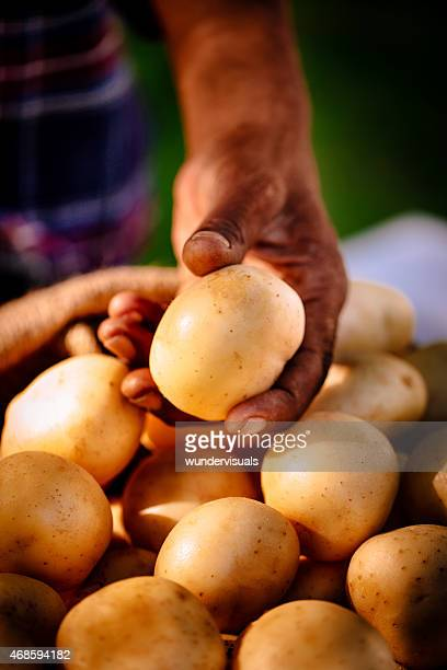 Healthy nutritious and organic potatoes