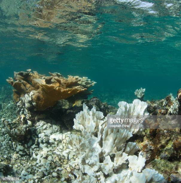 A healthy stand of Elkhorn coral (Acropora palmata) , Utila, in juxtaposition to a bleached field of fire coral.