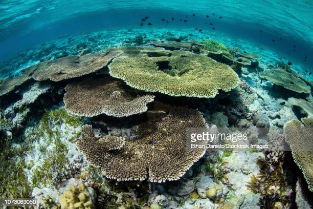 healthy table corals, acropora sp., thrive in the shallows of wakatobi national park. - indo pacific ocean stock pictures, royalty-free photos & images