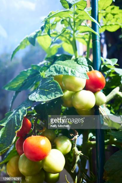 healthy tomato plant in home vegetable garden - ripe stock pictures, royalty-free photos & images