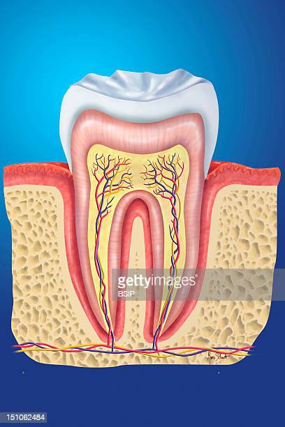 Healthy Tooth Molar Tooth A Tooth Is Composed Of Two Parts The Crown Visible In The Oral Cavity And Protected By The Enamel In White And The Roots...