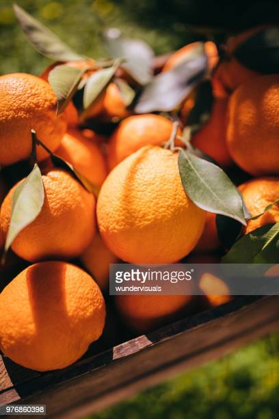 heap of fresh oranges piled in wooden box in orchard - orange grove stock photos and pictures