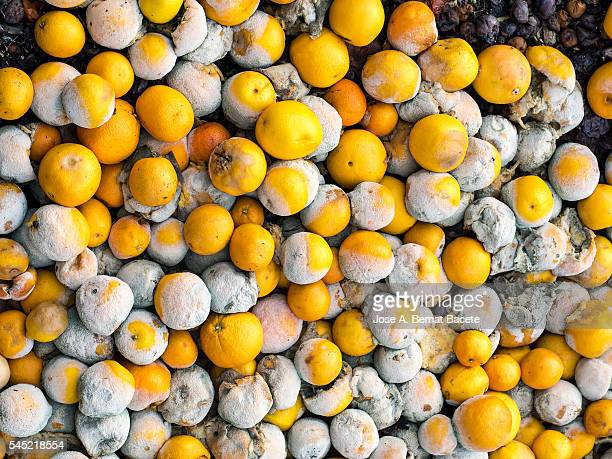 Heap of oranges in decomposition in a dump of garbages