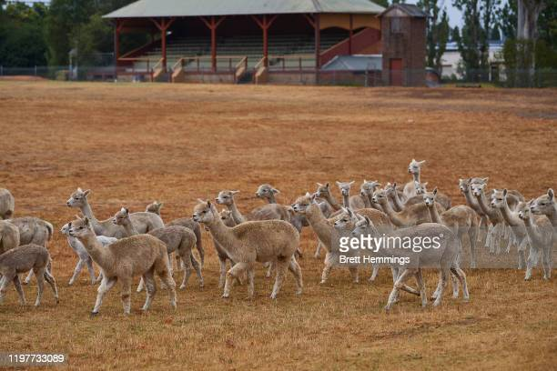 A heard of 59 Alpacas roam the oval at Moss Vale Showground after being evacuated from their property on January 06 2020 in Moss Vale Australia...