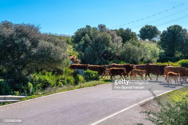a heard of cows crossing the road - finn bjurvoll stock pictures, royalty-free photos & images